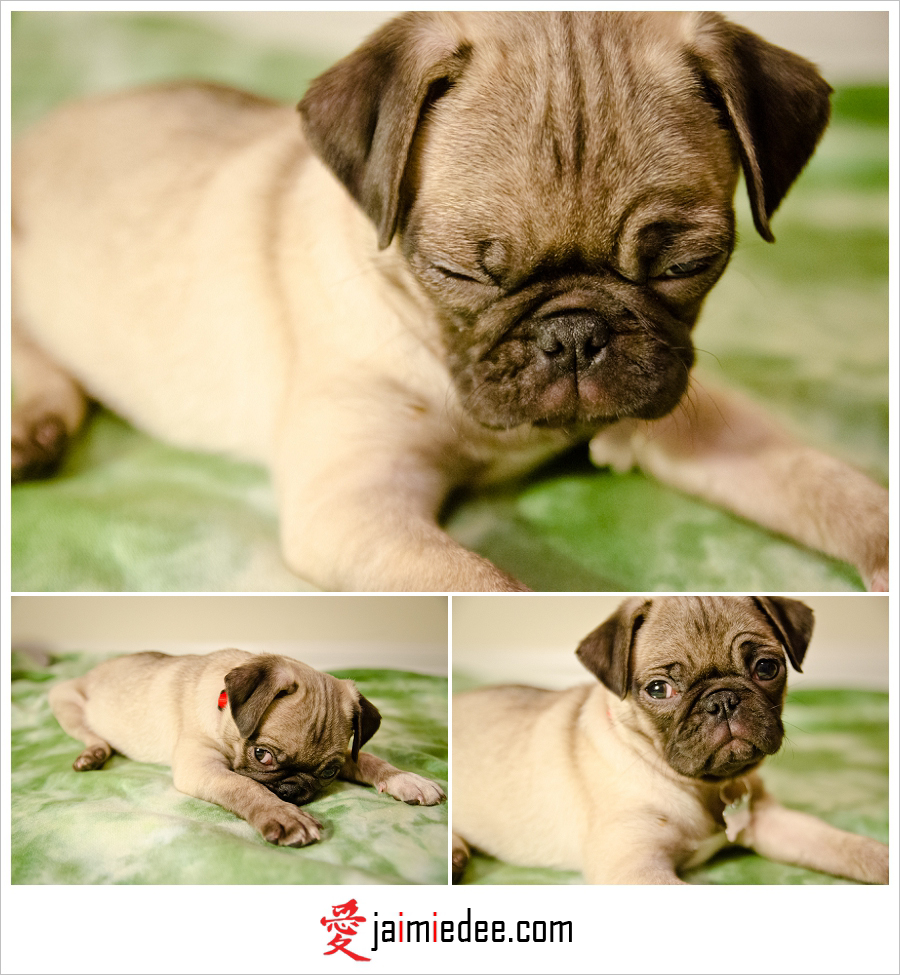 Atlanta Pet Photographer | Samantha & John's Pug Puppy – Pugsely!